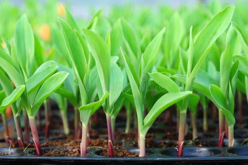 Jeune maïs vert, maïs, plante de maïs image stock
