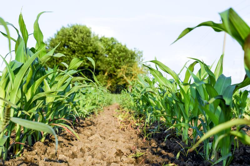Jeune maïs vert sur le champ Champ de maïs au printemps croissance images libres de droits
