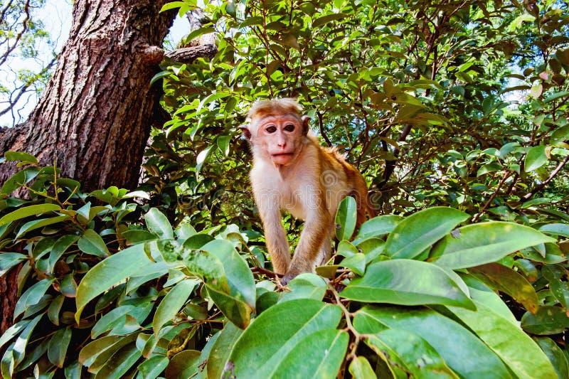 Jeune macaca sous le portrait d'arbre images stock