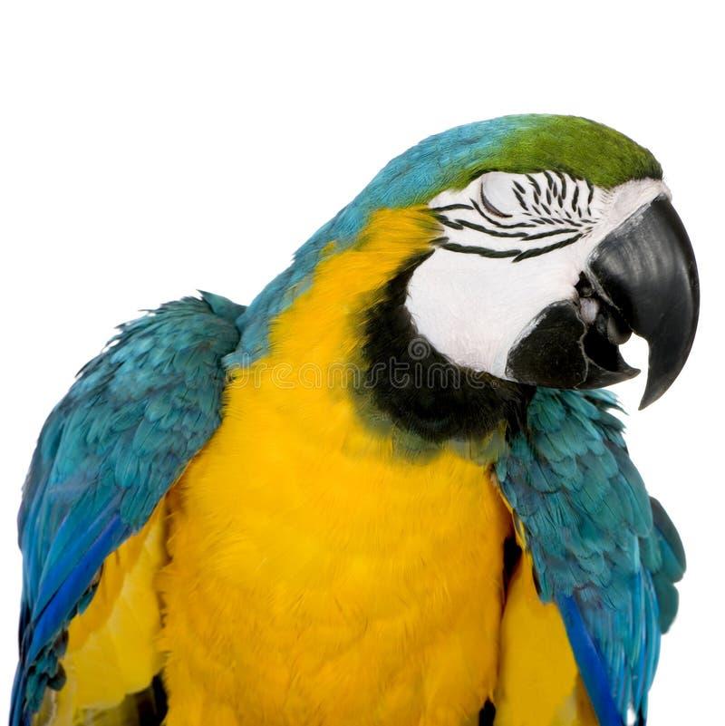 Jeune Macaw Bleu-et-jaune images libres de droits