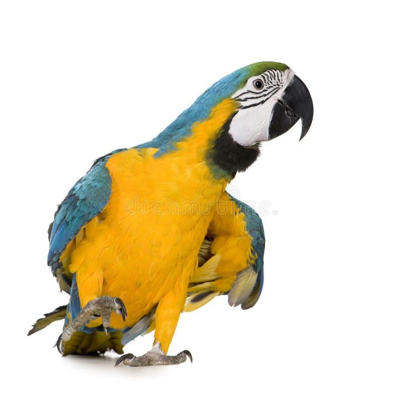 Jeune Macaw Bleu-et-jaune - ararauna d'Ara (8 mois) images stock