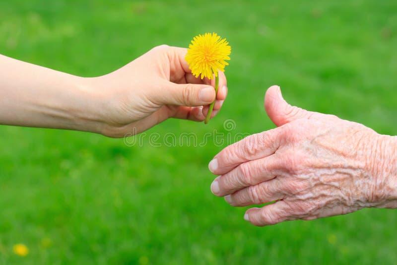Jeune main donnant un pissenlit à la dame aînée images libres de droits