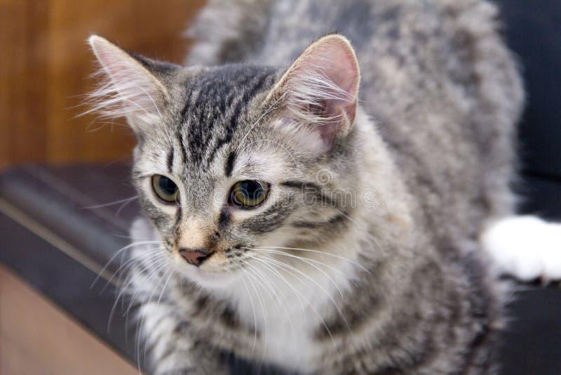 Jeune Maine Coon Cat sur le bureau images libres de droits