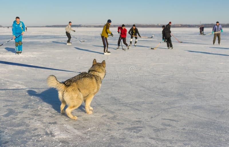 Jeune Malamute d'Alaska observant avec le match de hockey d'intérêt sur une rivière congelée Dniepr en Ukraine photos libres de droits