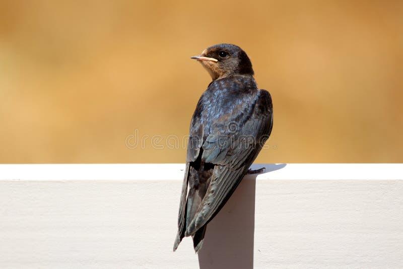 Jeune Martin (urbicum de Delichon), un oiseau migrateur de passerine de t photographie stock libre de droits