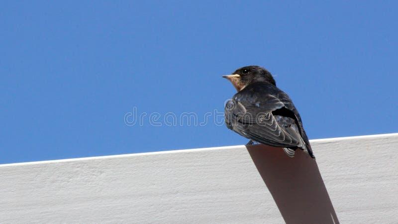 Jeune Martin (urbicum de Delichon), un oiseau migrateur de passerine de t images stock