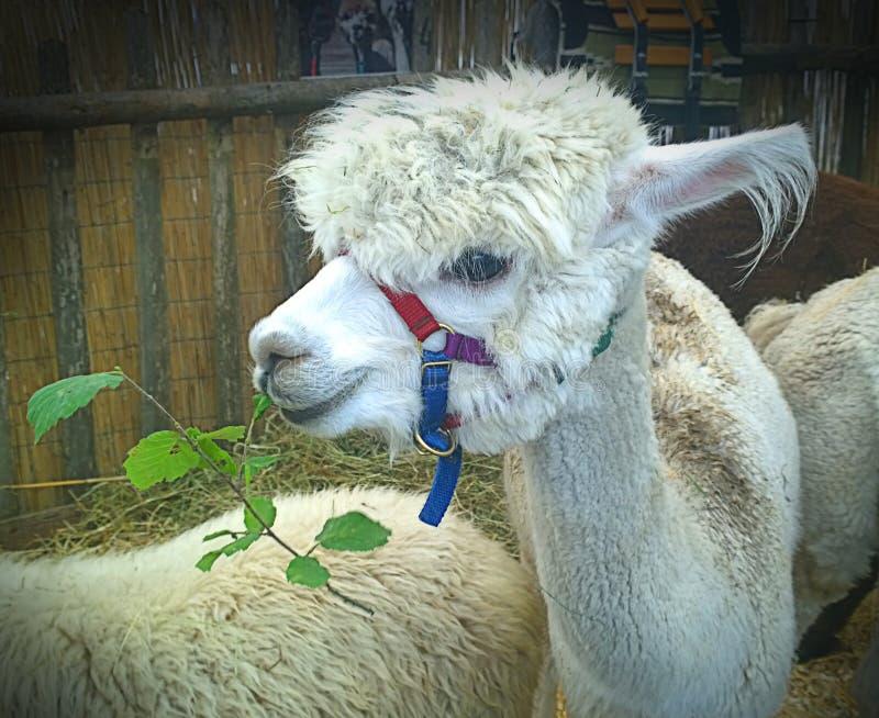 Jeune mastication blanche de lama photographie stock