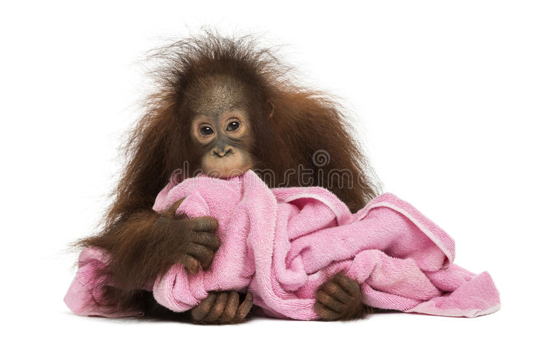 Jeune mensonge d'orang-outan de Bornean, caressant une serviette rose photo stock