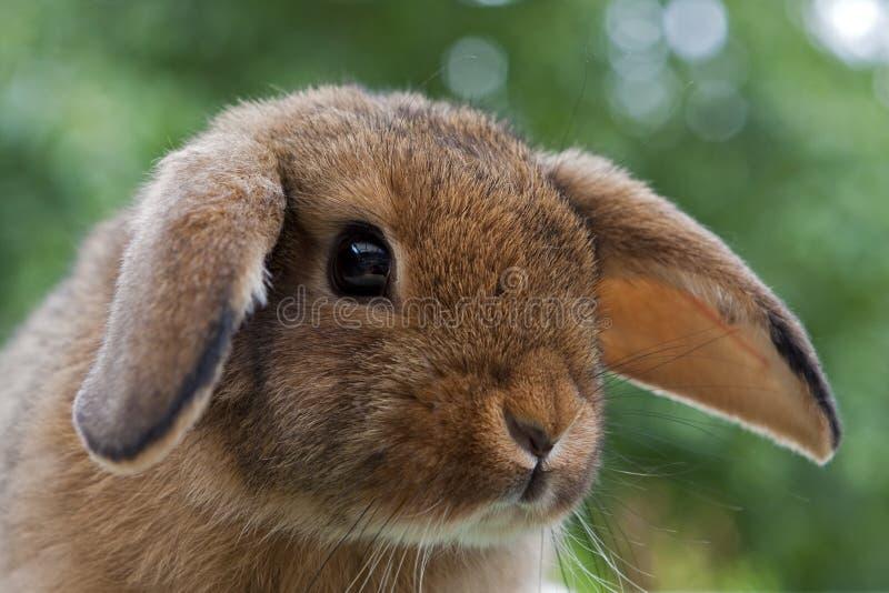 Jeune mini lapin de Lop image stock
