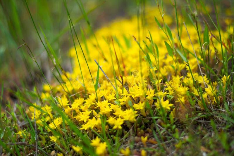 Jeune mousse jaune dans le macro d'herbe verte au printemps image stock