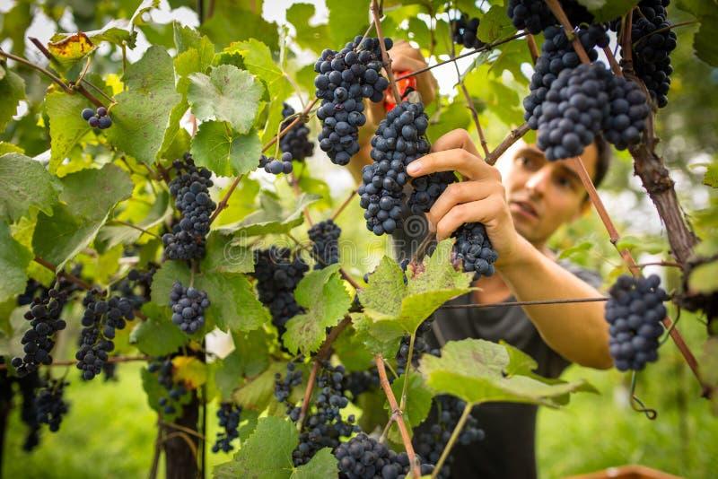 Jeune négociant en vins beau moissonnant des raisins de vigne dans son vignoble photographie stock