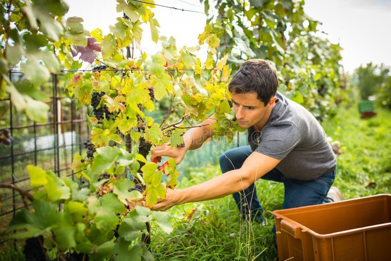 Jeune négociant en vins beau moissonnant des raisins de vigne dans son vignoble images stock