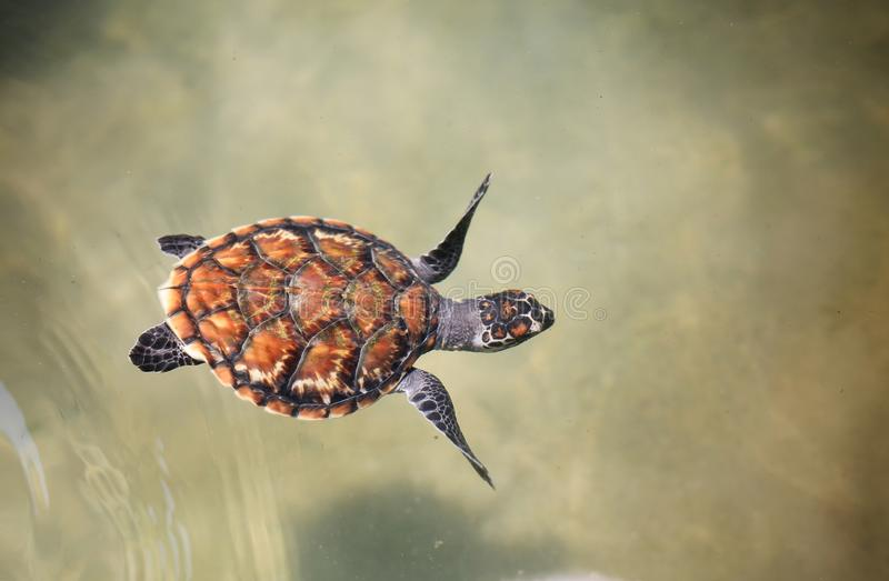 Jeune natation de tortue de mer dans la piscine de crèche à multiplier le centre photographie stock