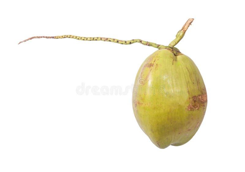 Jeune noix de coco photos stock