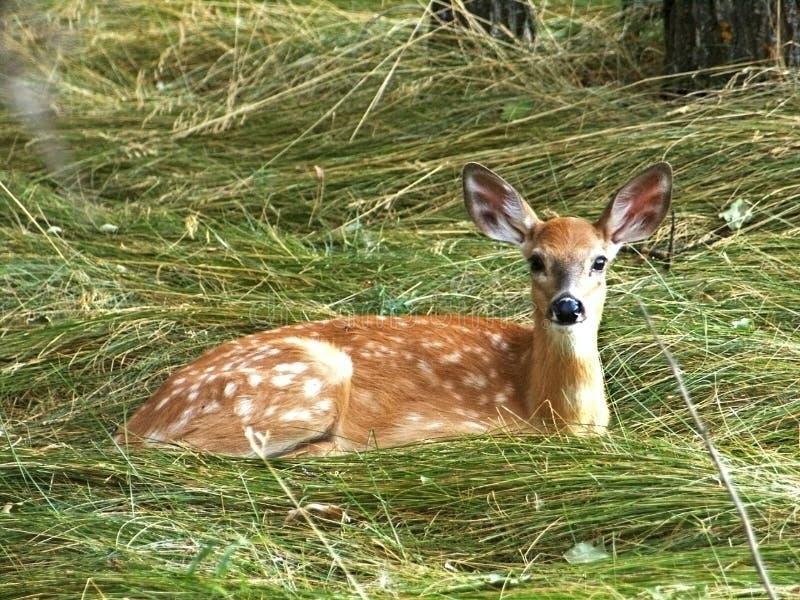 Jeune observation de cerfs communs photo stock