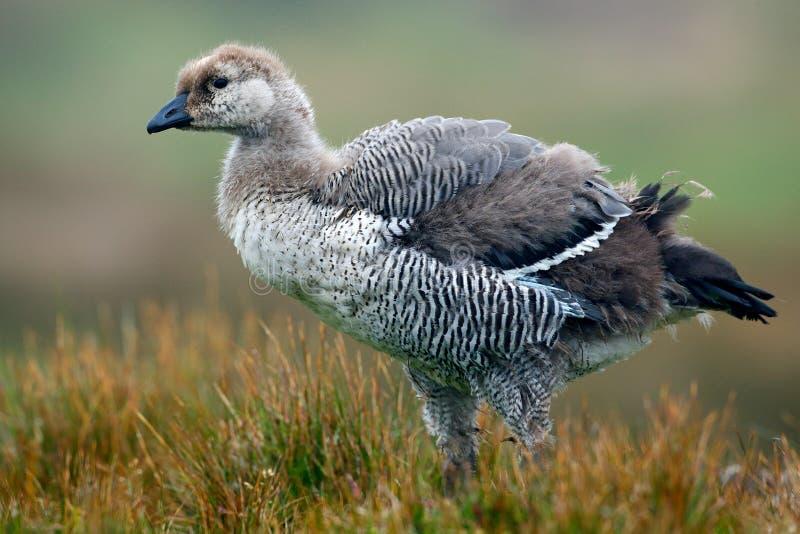Jeune oiseau blanc et gris avec le long cou oie blanche for Oiseau gris et blanc