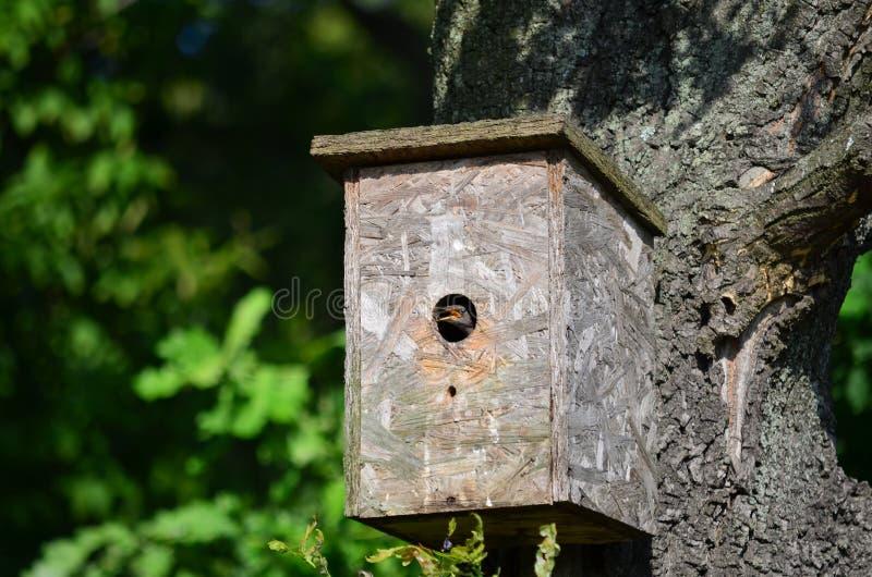 Jeune oiseau d'étourneau dans le pondoir photo libre de droits