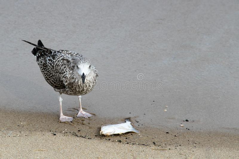 Jeune oiseau juvénile d'harengs de mouette d'argentatus européen de Larus mangeant un poisson sur le sable dans les rivages de la images stock