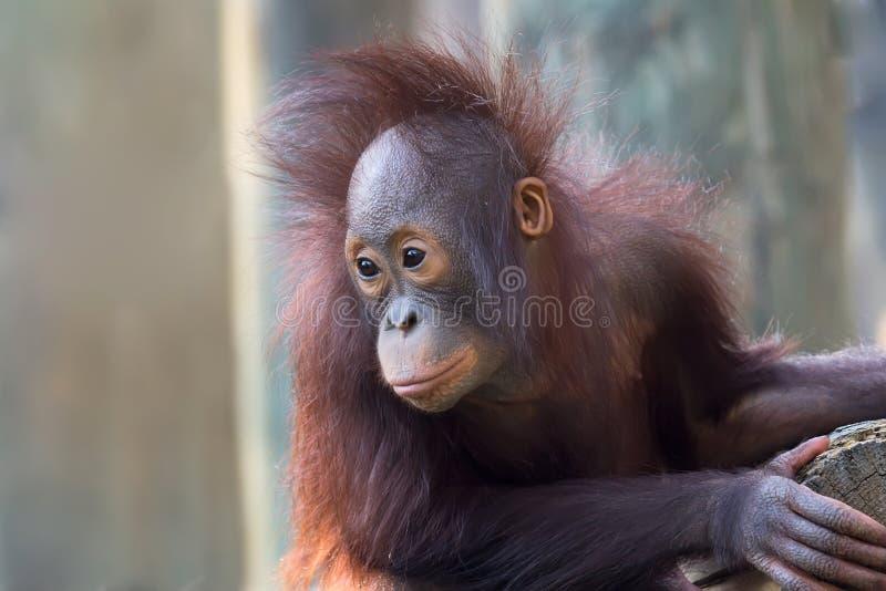 Jeune orang-outan photographie stock libre de droits