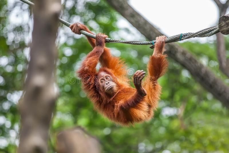 Jeune orang-outan balançant sur une corde photo stock