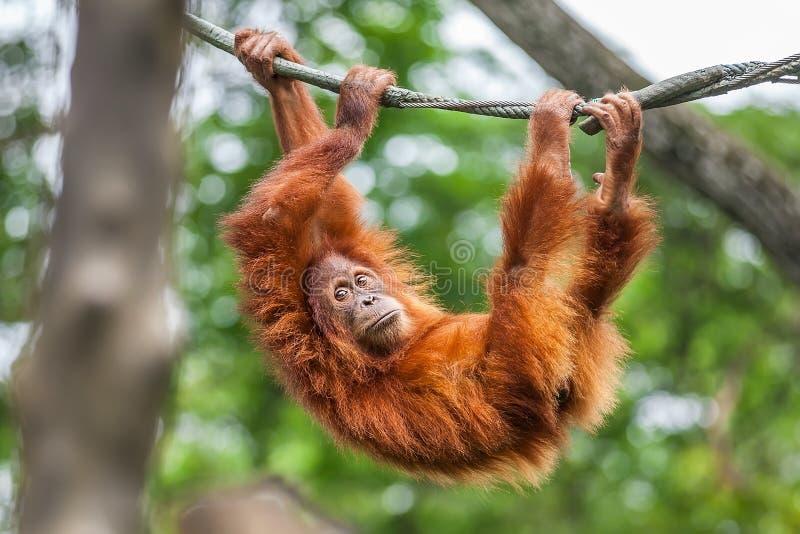 Jeune orang-outan balançant sur une corde image libre de droits