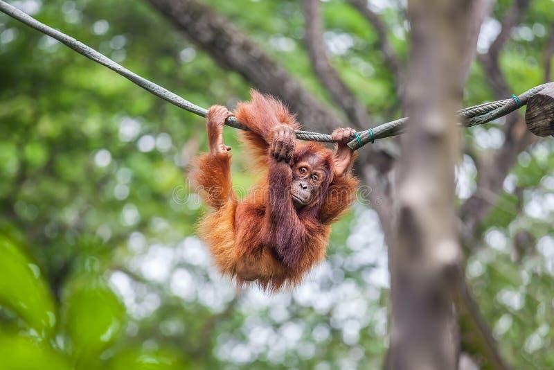 Jeune orang-outan balançant sur une corde photographie stock