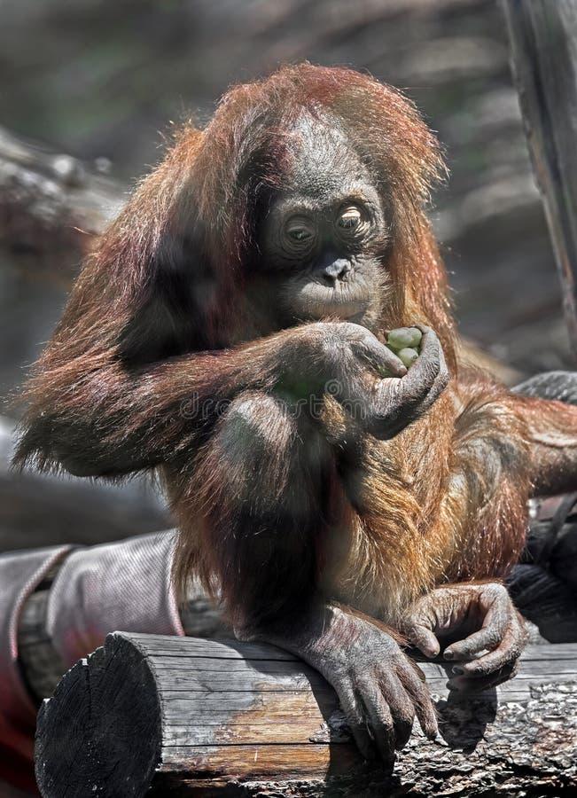 Jeune orang-outan bornean photo libre de droits
