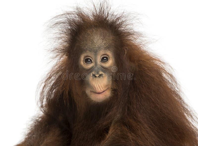 Jeune orang-outan de Bornean semblant appliqué, pygmaeus de Pongo photographie stock