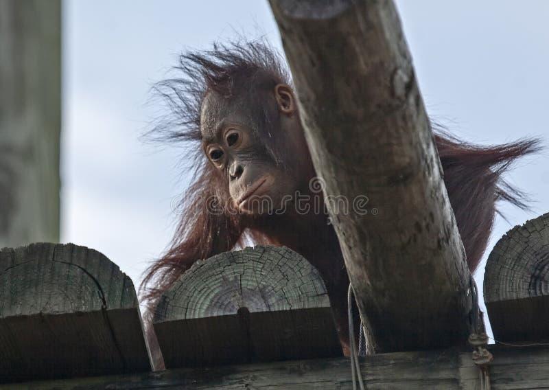 Jeune orang-outan sur une plate-forme image libre de droits