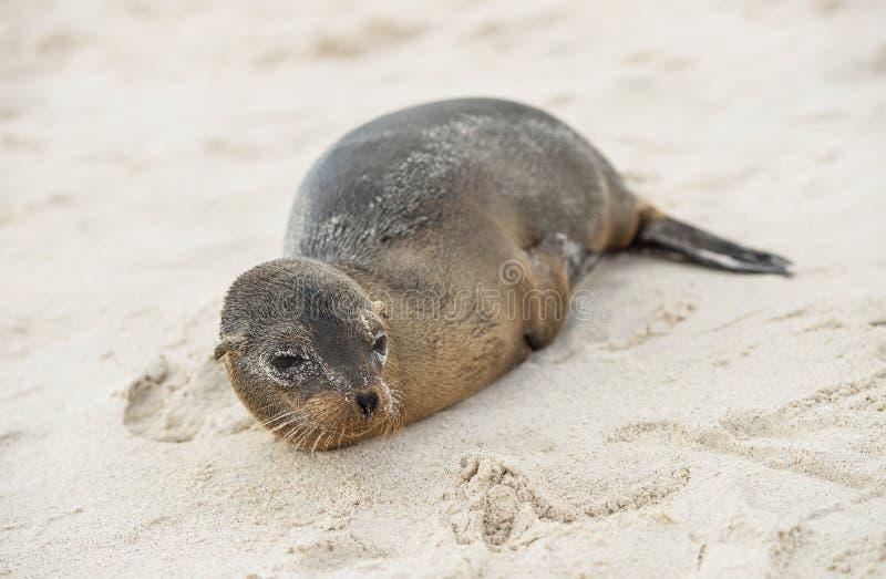 Jeune otarie sur la plage sablonneuse Île d'Espanola, Galapagos images stock