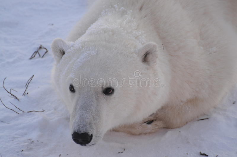 Jeune ours blanc photo stock