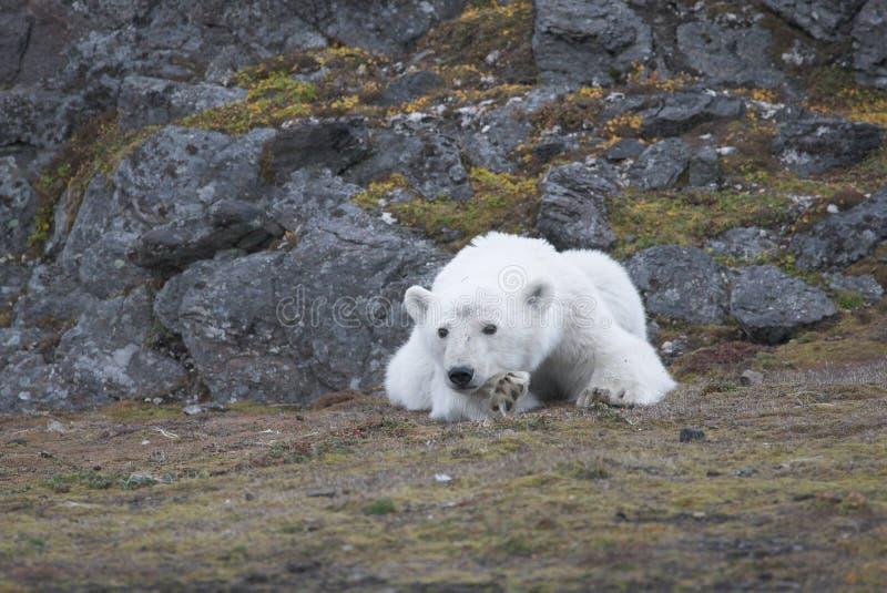 Jeune ours blanc dans l'Arctique image stock