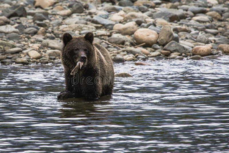 Jeune ours gris image libre de droits