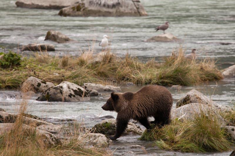 Jeune ours gris d'Alaska images libres de droits