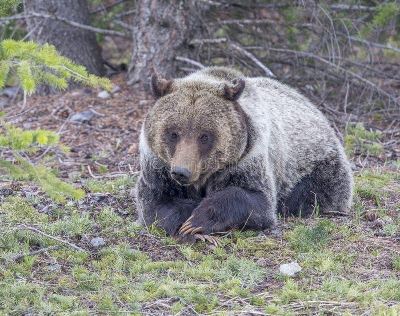 Jeune ours gris se trouvant avec des pattes pliées photo libre de droits