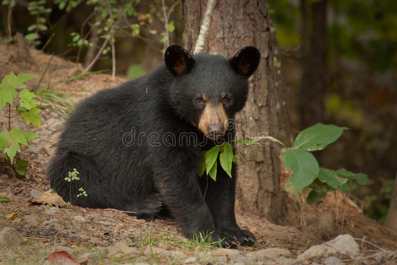 Jeune ours sauvage image stock. Image du furry, carnivore ...