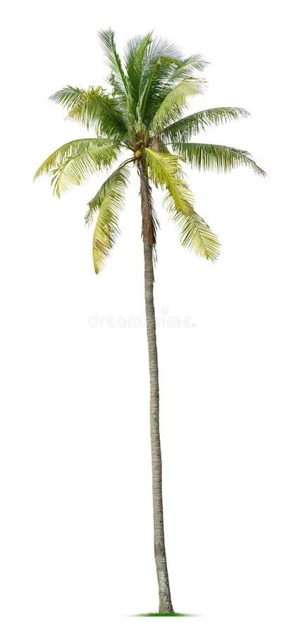 Jeune palmier photographie stock libre de droits