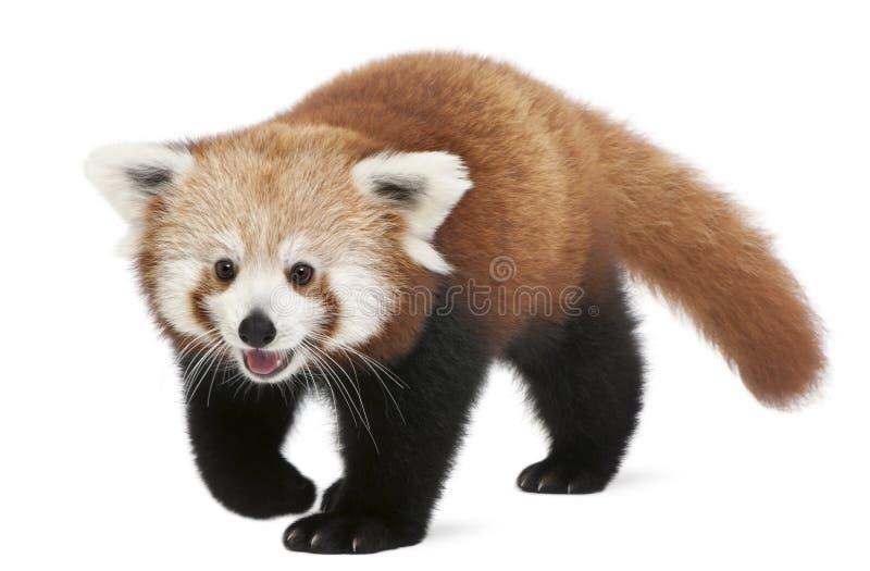 Jeune panda rouge ou chat brillant, fulgens d'Ailurus, 7 mois image libre de droits