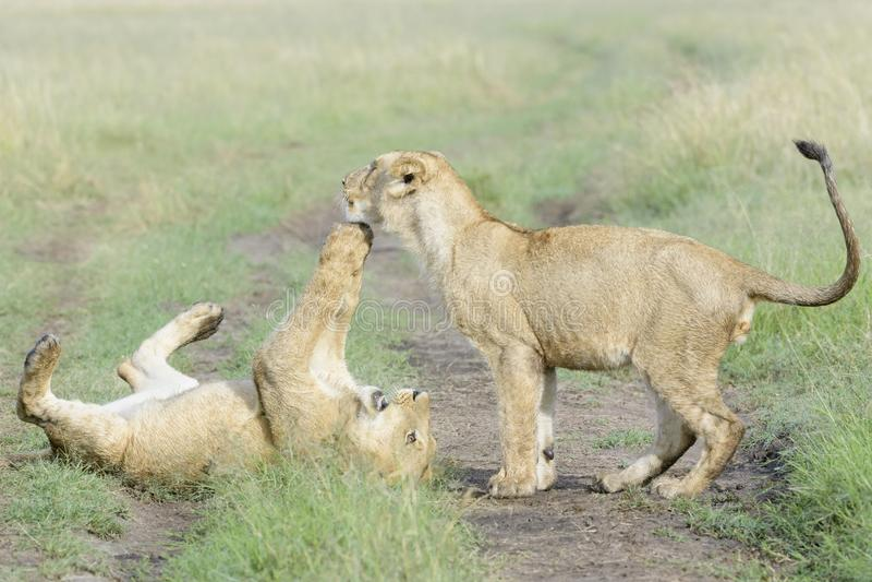 Jeune Panthera Lion de lions jouant ensemble images stock