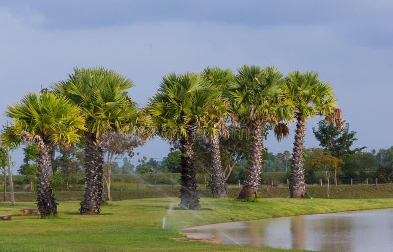 Jeune paume de grog de palmier de sucre images stock