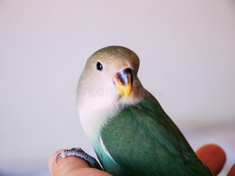 Jeune perruche à disposition photographie stock libre de droits