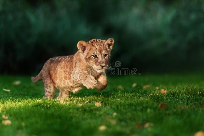 Jeune petit animal de lion dans le sauvage images stock