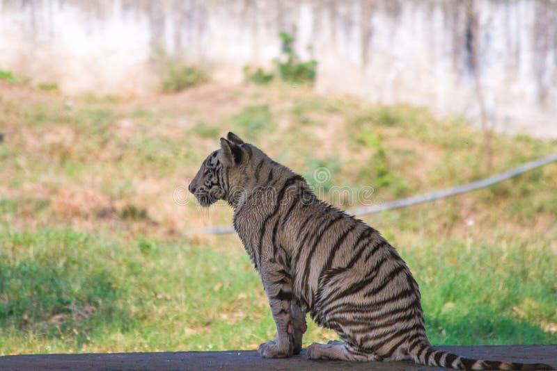 Jeune petit animal de tigre blanc espiègle en Inde photo libre de droits