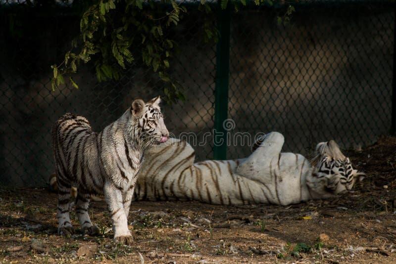 Jeune petit animal de tigre blanc espiègle en Inde image stock