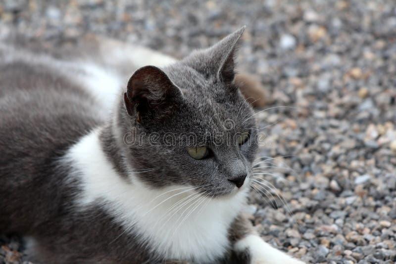 Jeune petit chat domestique blanc et gris se reposant sur le gravier dans l'arrière-cour et regardant curieusement dans la distan image libre de droits