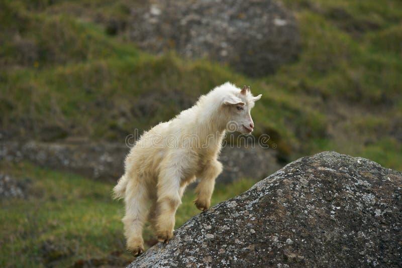 Jeune petit goatling blanc mignon avec des klaxons photographie stock libre de droits