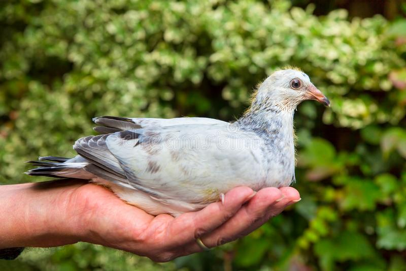 Jeune pigeon en main dehors photographie stock libre de droits