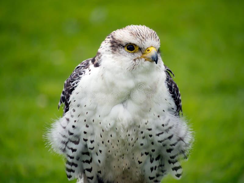 Jeune plan rapproché de faucon de Gyr X Lanner outdoors photos stock