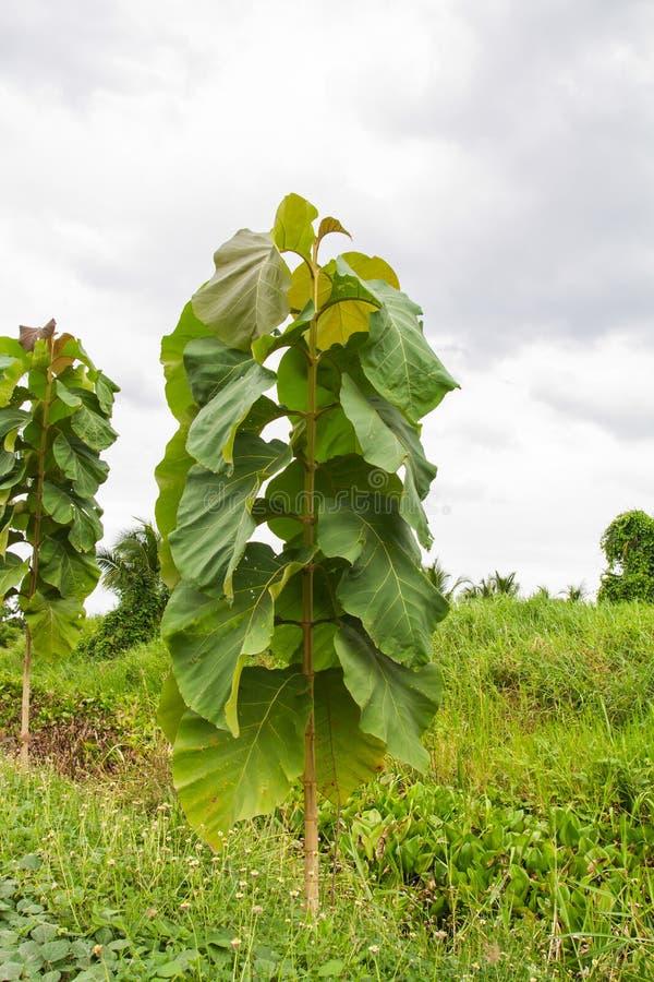 Jeune plantation d'arbres de teck images stock