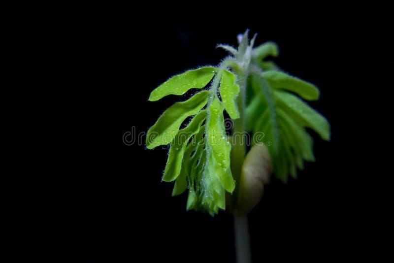 Jeune plante ayant des baisses de rosée photographie stock libre de droits